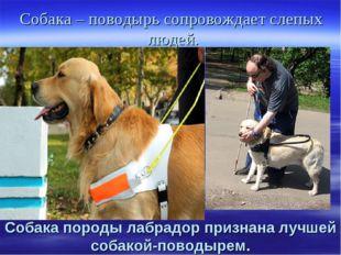 Собака – поводырь сопровождает слепых людей. Собака породы лабрадор признана