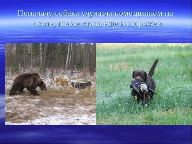 Поначалу собака служила помощником на охоте, позже стала еще и сторожем.