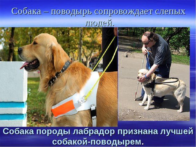Собака – поводырь сопровождает слепых людей. Собака породы лабрадор признана...