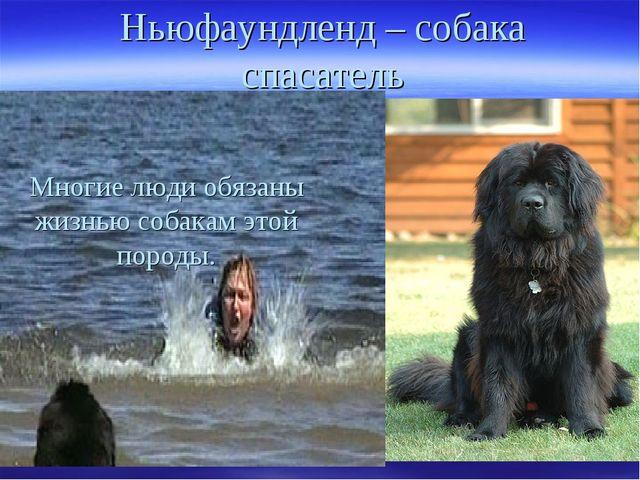 Ньюфаундленд – собака спасатель Многие люди обязаны жизнью собакам этой породы.