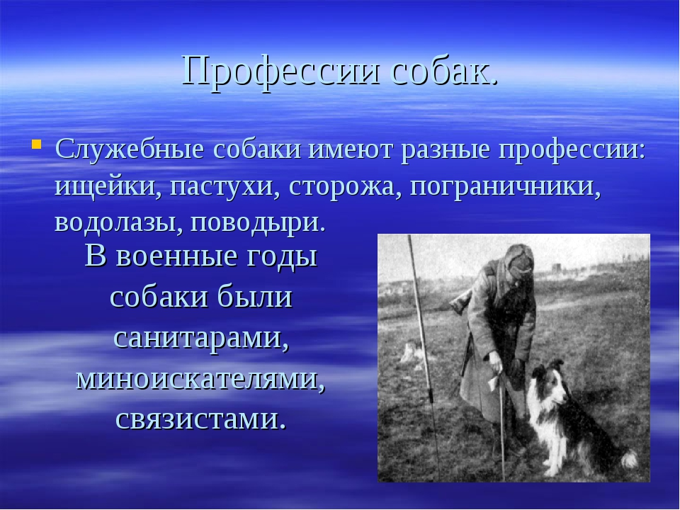 Профессии собак. Служебные собаки имеют разные профессии: ищейки, пастухи, ст...