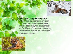 Амурский (уссурийский) тигр— редкий подвид кошачьих, который сохранился на