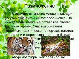 Размножение В отличие от многих млекопитающих, уссурийские тигры живут поодин