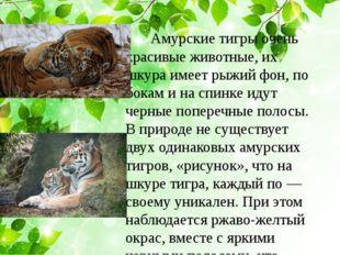 Амурские тигры очень красивые животные, их шкура имеет рыжий фон, по бокам и
