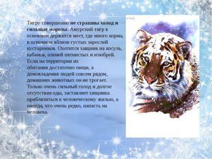 Тигру совершенноне страшны холод и сильные морозы. Амурский тигр в основном