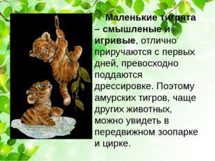 Маленькие тигрята – смышленые и игривые, отлично приручаются с первых дней,