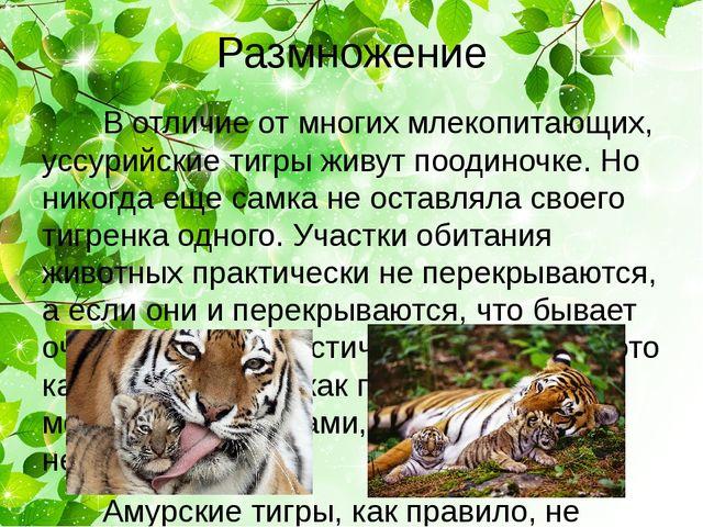 Размножение В отличие от многих млекопитающих, уссурийские тигры живут поодин...