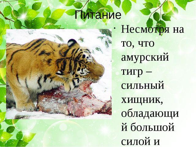 Питание Несмотря на то, что амурский тигр – сильный хищник, обладающий большо...