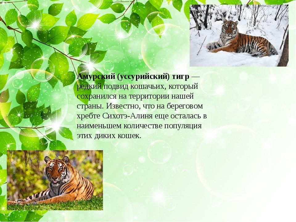 Амурский (уссурийский) тигр— редкий подвид кошачьих, который сохранился на...