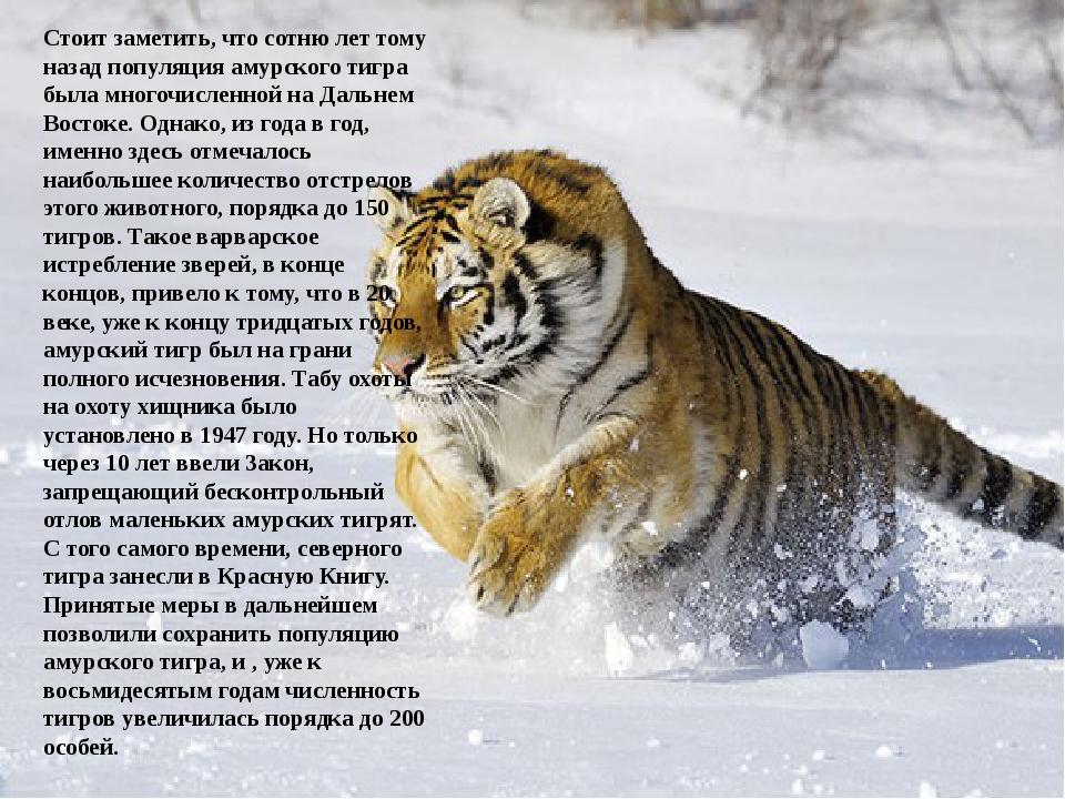Стоит заметить, что сотню лет тому назад популяция амурского тигра была мног...