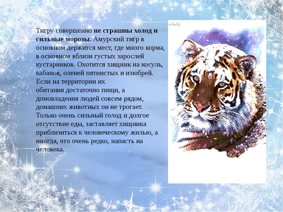 Тигру совершенноне страшны холод и сильные морозы. Амурский тигр в основном...