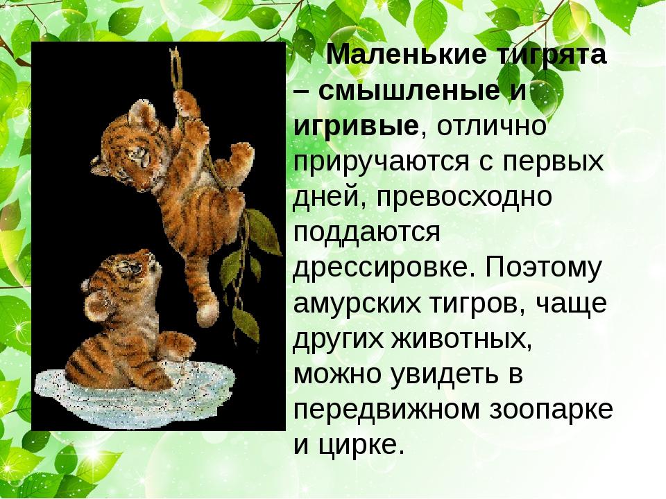 Маленькие тигрята – смышленые и игривые, отлично приручаются с первых дней,...