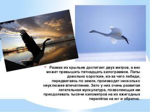 Размах их крыльев достигает двух метров, а вес может превышать пятнадцать кил