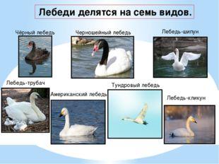 Лебеди делятся на семь видов. Чёрный лебедь Черношейный лебедь Лебедь-шипун