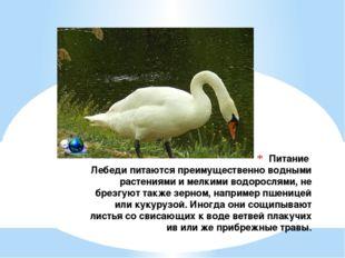 Питание Лебеди питаются преимущественно водными растениями и мелкими водоросл