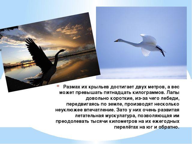 Размах их крыльев достигает двух метров, а вес может превышать пятнадцать кил...