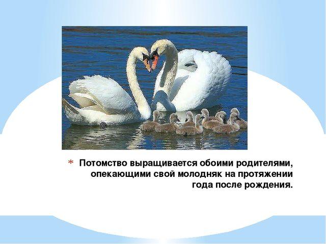 Потомство выращивается обоими родителями, опекающими свой молодняк на протяже...