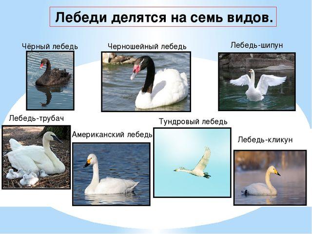 Лебеди делятся на семь видов. Чёрный лебедь Черношейный лебедь Лебедь-шипун...