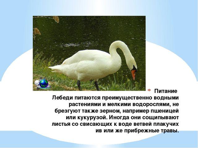 Питание Лебеди питаются преимущественно водными растениями и мелкими водоросл...