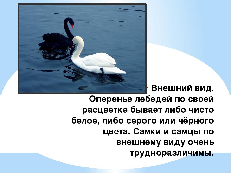 Внешний вид. Оперенье лебедей по своей расцветке бывает либо чисто белое, либ...