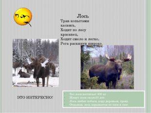 Лежбище Лось Вес лося достигает 400 кг Живут лоси около10 лет. Лось любит поб