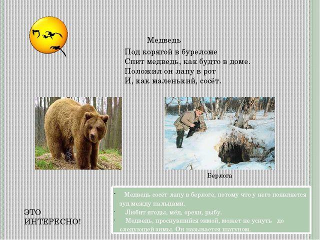Медведь Берлога Под корягой в буреломе Спит медведь, как будто в доме. Полож...