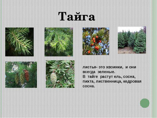 Тайга листья- это хвоинки, и они всегда зеленые. В тайге растут ель, сосна, п...
