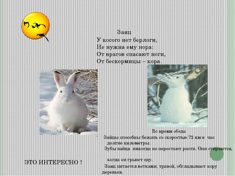 ЭТО ИНТЕРЕСНО ! Заяц Зайцы способны бежать со скоростью 72 км в час долгие ки...