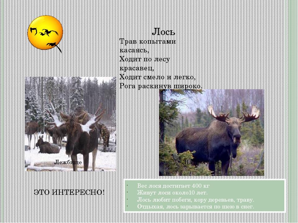 Лежбище Лось Вес лося достигает 400 кг Живут лоси около10 лет. Лось любит поб...
