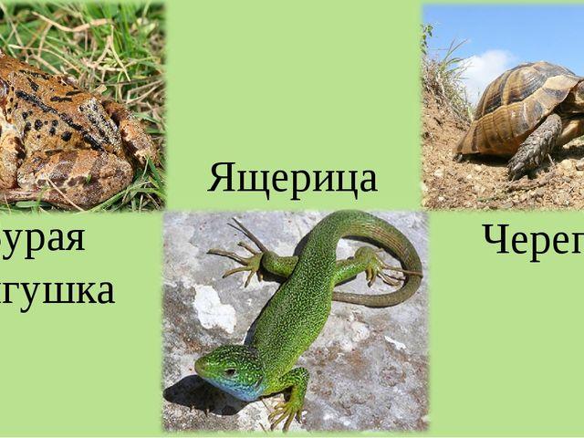 Бурая лягушка Ящерица Черепаха