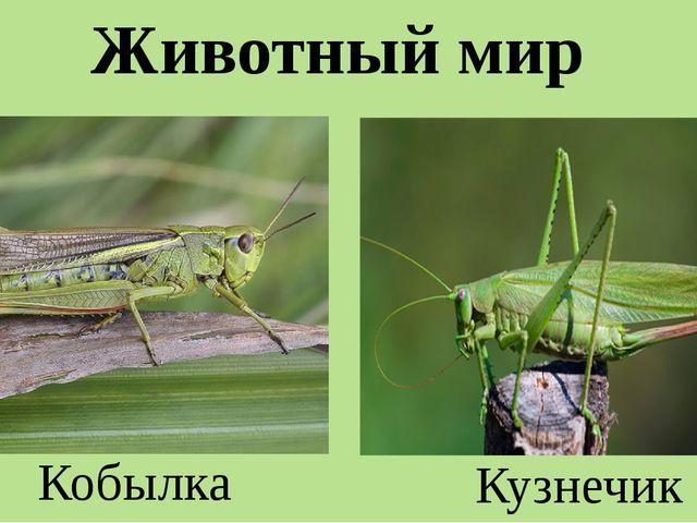 Животный мир Кобылка Кузнечик