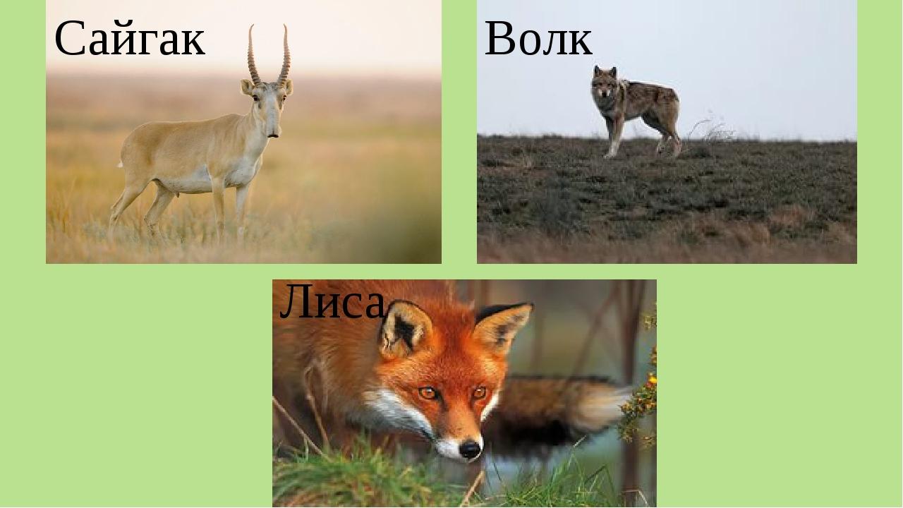 Сайгак Лиса Волк