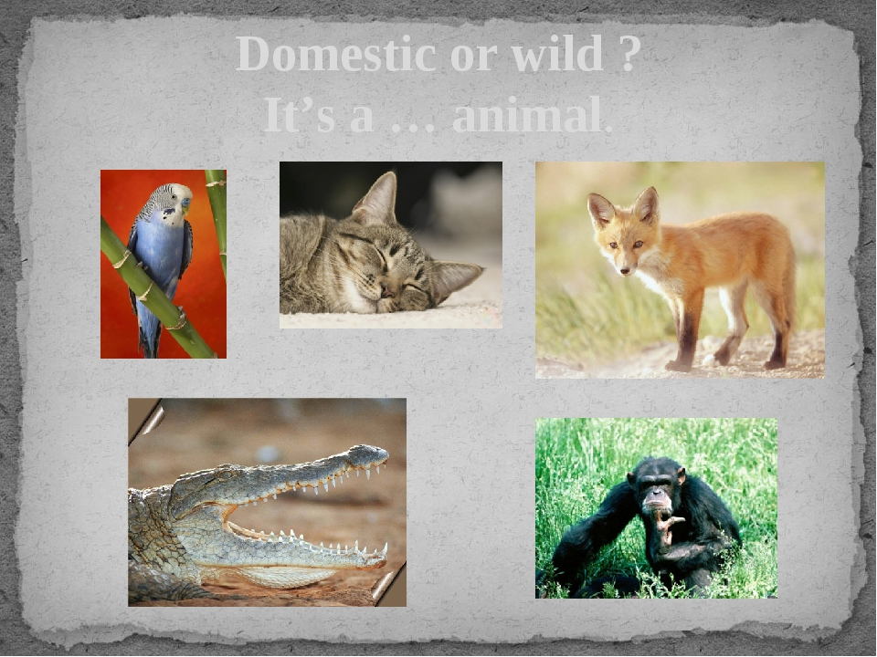 Domestic or wild ? It's a … animal.