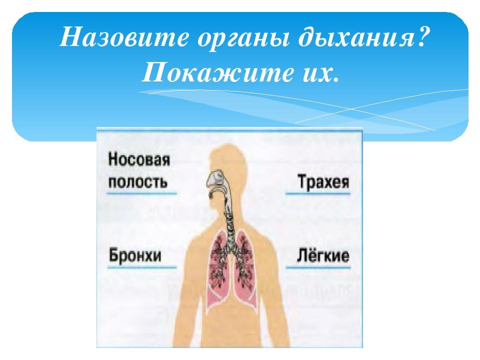 Назовите органы дыхания? Покажите их.