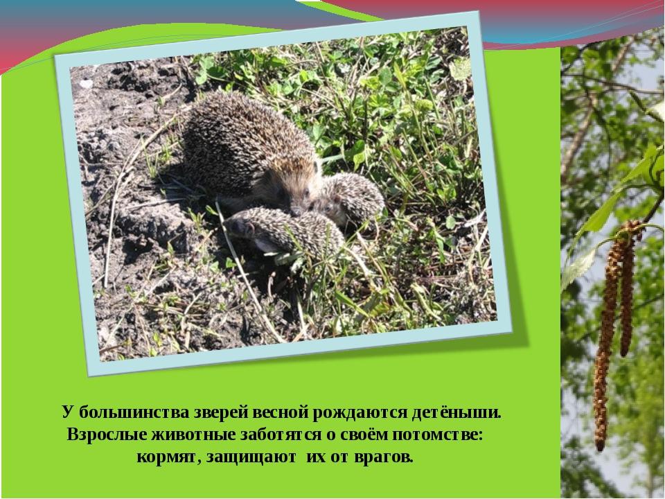 У большинства зверей весной рождаются детёныши. Взрослые животные заботятся...