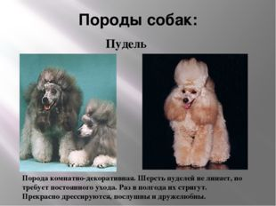 Породы собак: Порода комнатно-декоративная. Шерсть пуделей не линяет, но треб