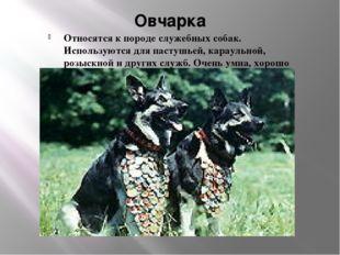 Овчарка Относятся к породе служебных собак. Используются для пастушьей, карау