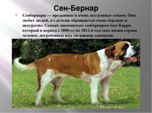 Сен-Бернар Сенбернары — преданные и очень послушные собаки. Они любят людей,