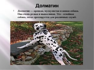 Долматин Долматин — крепкая, мускулистая и живая собака. Она очень резвая и в