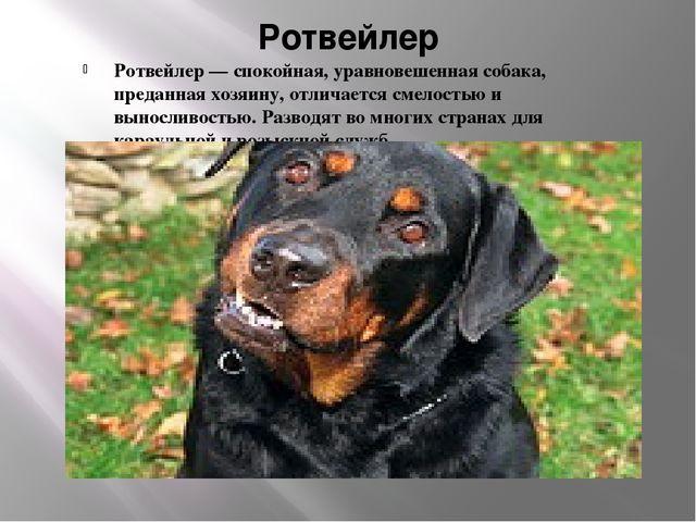 Ротвейлер Ротвейлер — спокойная, уравновешенная собака, преданная хозяину, от...