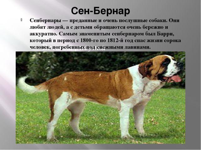 Сен-Бернар Сенбернары — преданные и очень послушные собаки. Они любят людей,...
