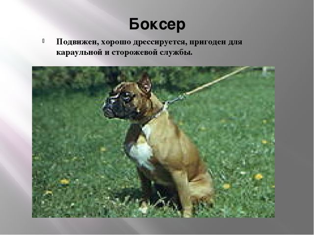 Боксер Подвижен, хорошо дрессируется, пригоден для караульной и сторожевой сл...