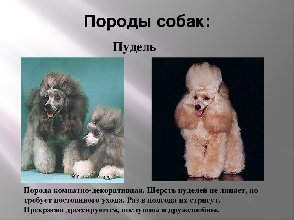 Породы собак: Порода комнатно-декоративная. Шерсть пуделей не линяет, но треб...