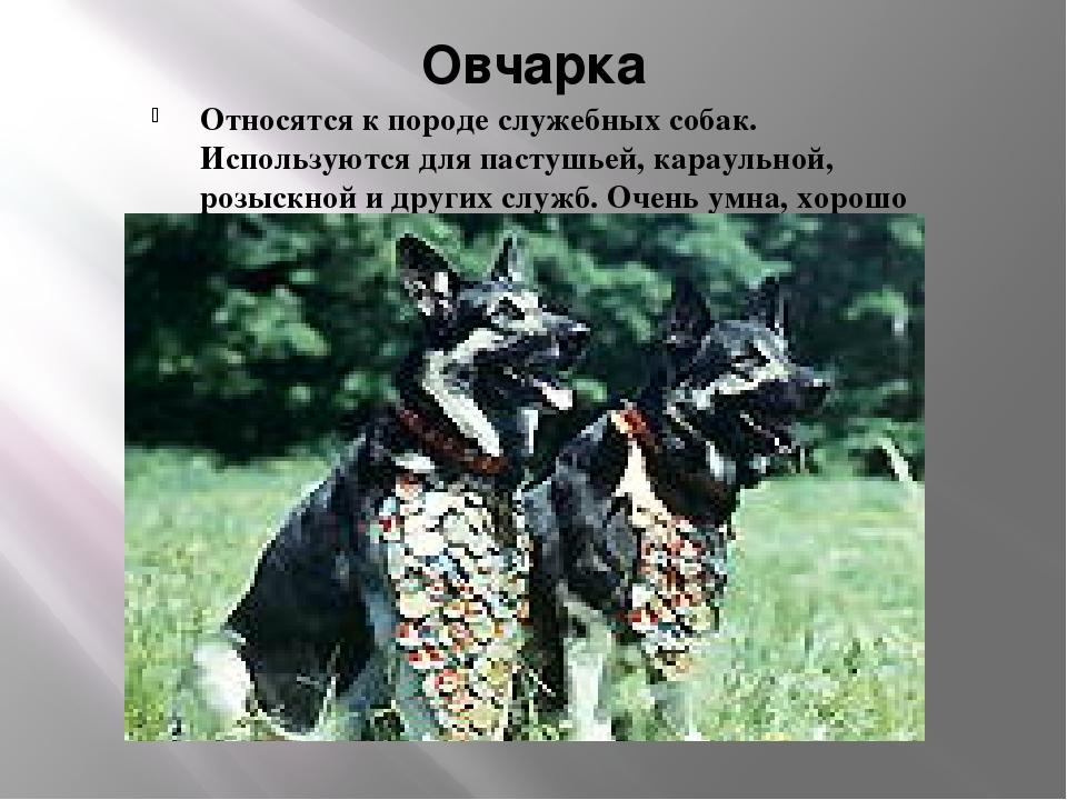 Овчарка Относятся к породе служебных собак. Используются для пастушьей, карау...