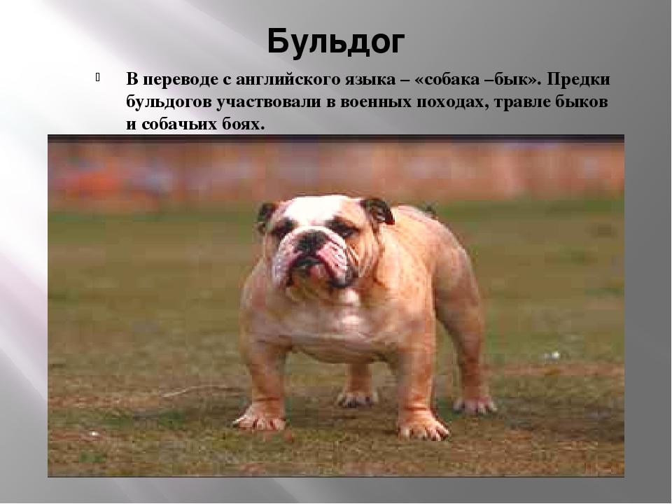 Бульдог В переводе с английского языка – «собака –бык». Предки бульдогов учас...