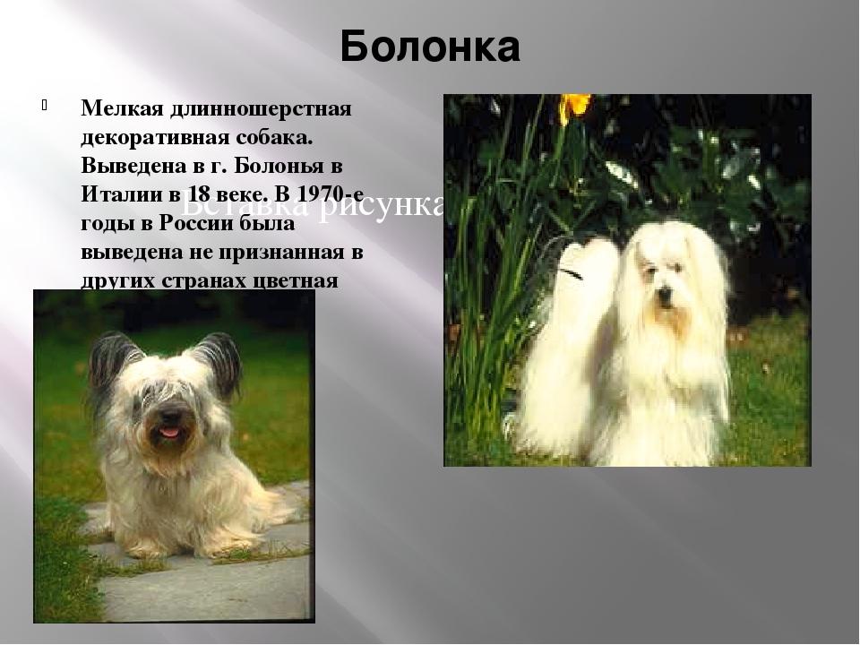 Болонка Мелкая длинношерстная декоративная собака. Выведена в г. Болонья в Ит...