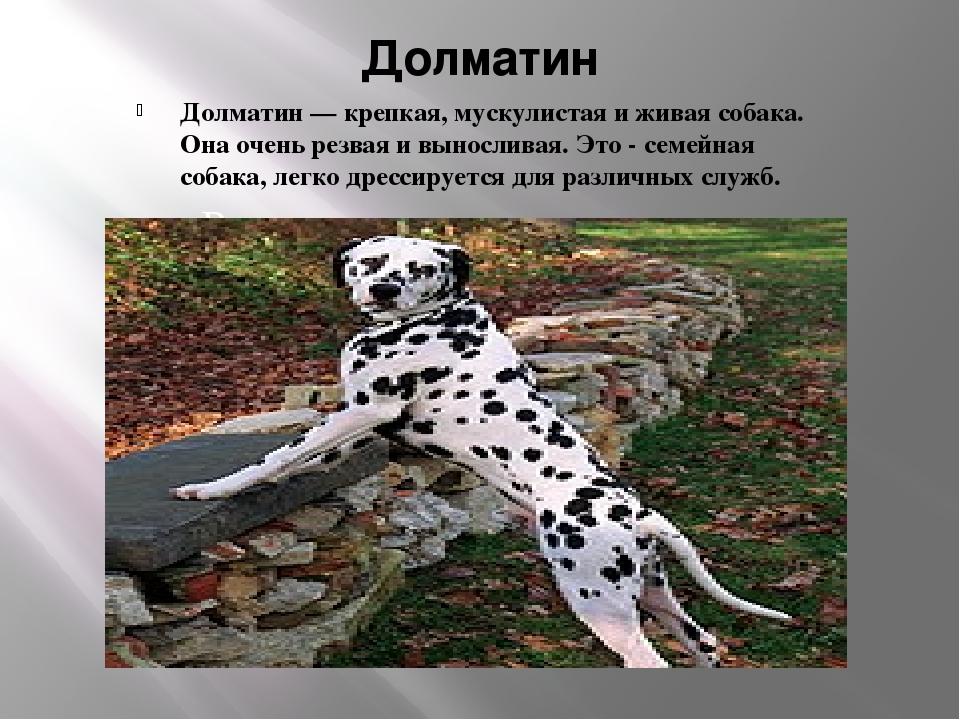 Долматин Долматин — крепкая, мускулистая и живая собака. Она очень резвая и в...
