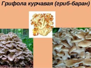 Грифола курчавая (гриб-баран)
