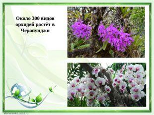 Около 300 видов орхидей растёт в Черапунджи
