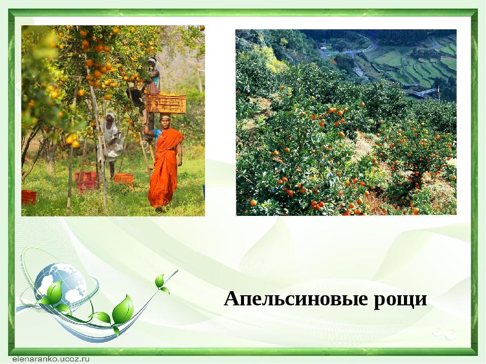 Апельсиновые рощи
